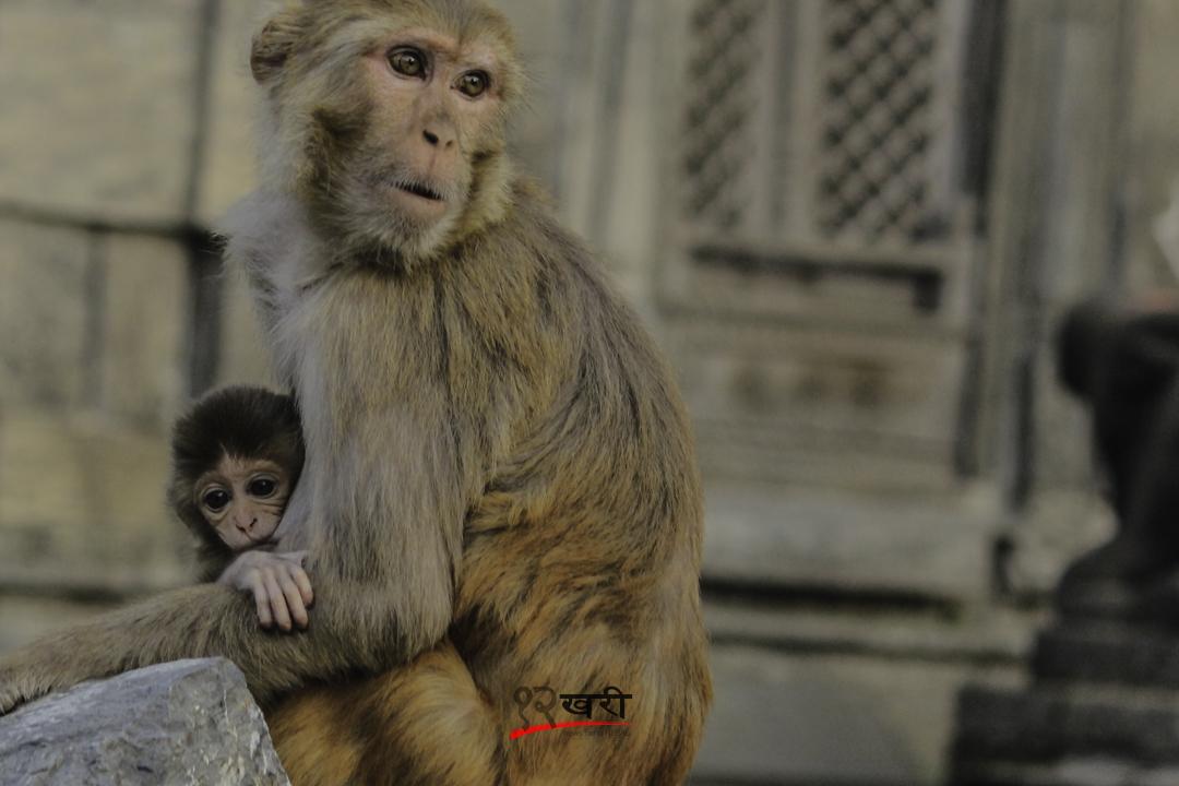 पशुपतिनाथ क्षेत्रमा स्तनपान गराउँदै एक बाँदर । तस्बिर : सरिता खड्का