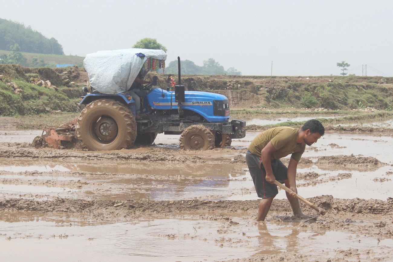 दाङ घोराही १८ स्थित धान रोप्न ट्याक्टरले खेत जोत्दै । तस्बिरः रीता लामा